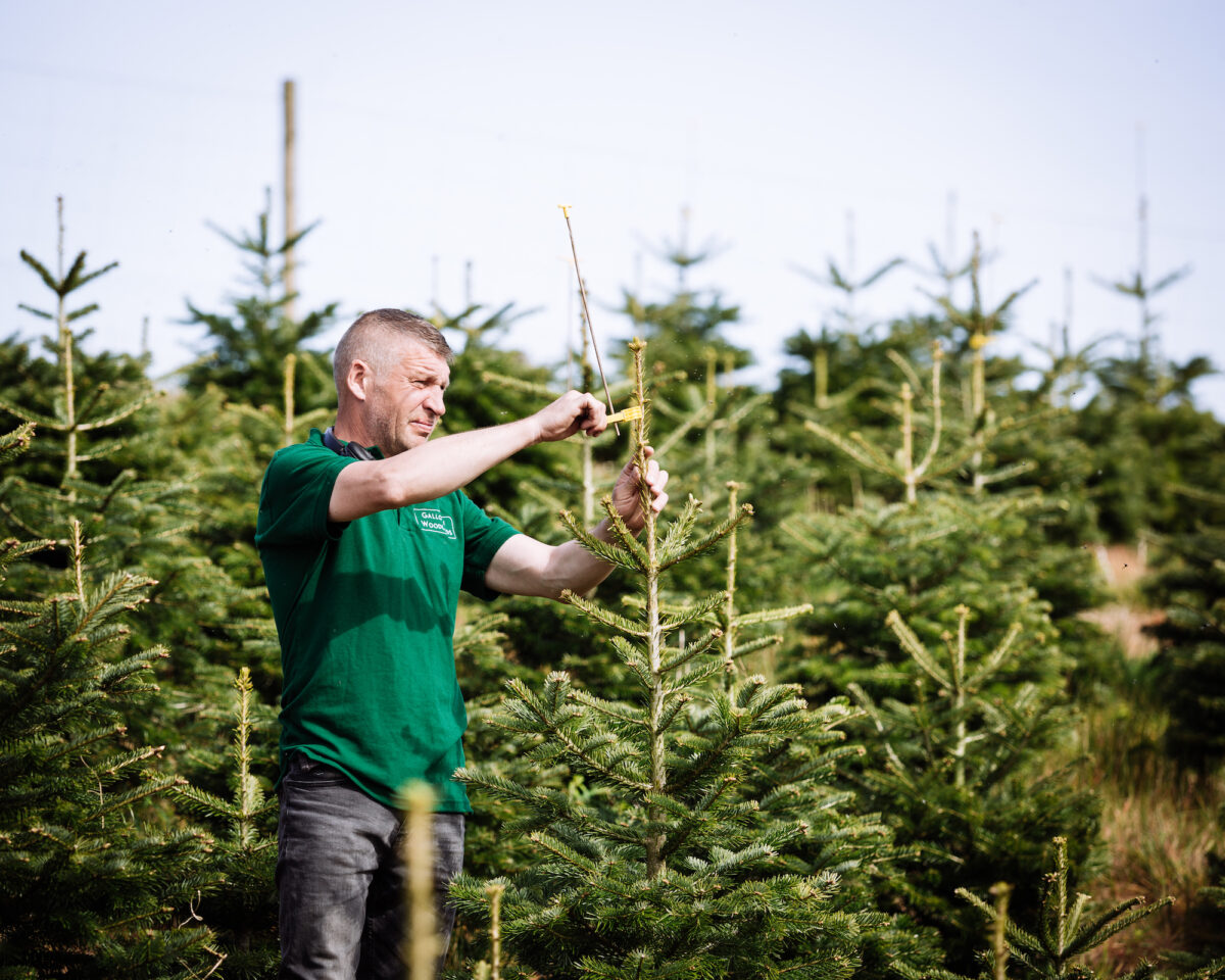 Norway Spruce Tree Farm