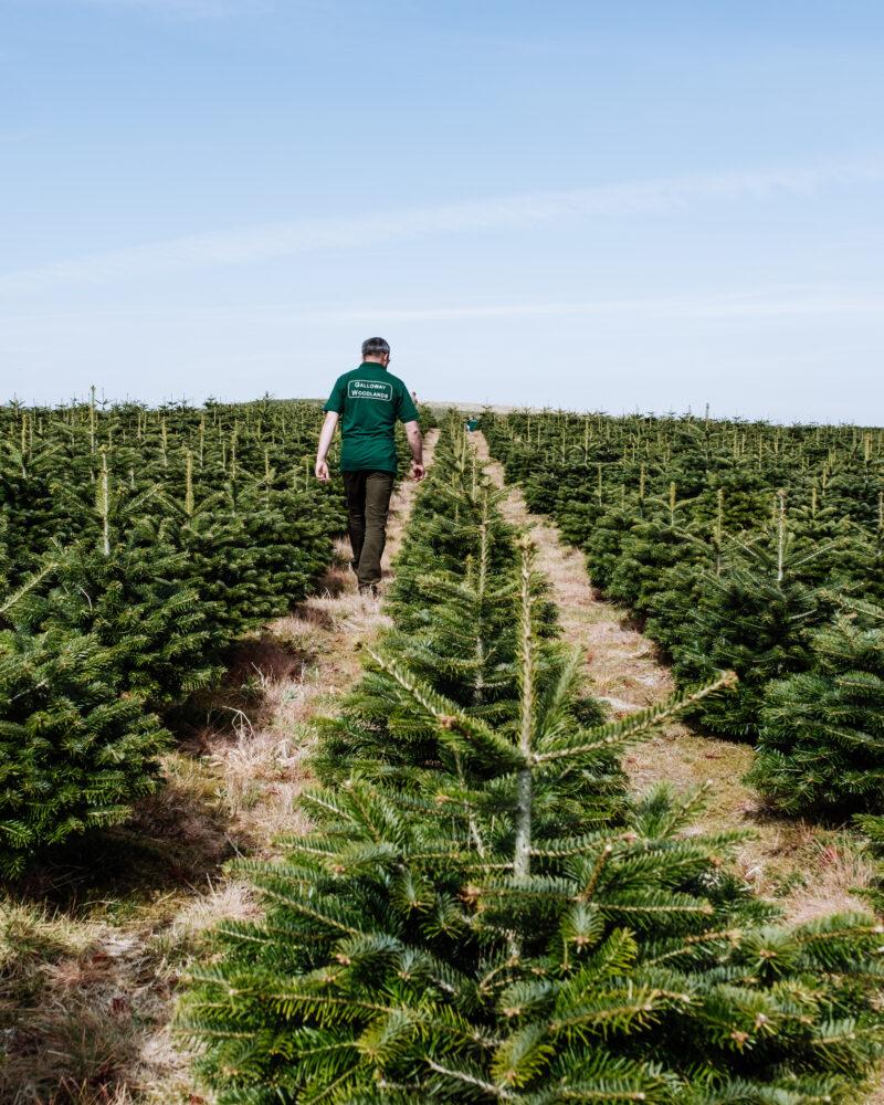 Man Checking Wholesale Xmas Tree