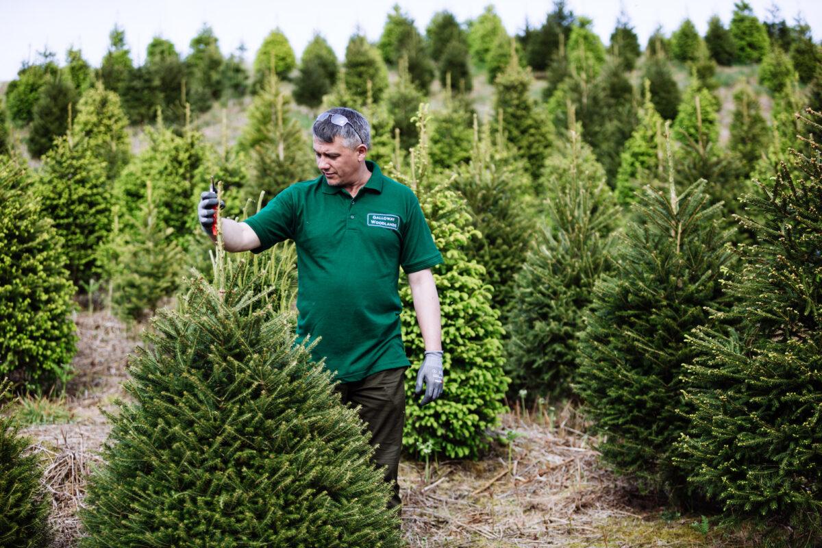 Man Checking Christmas Tree