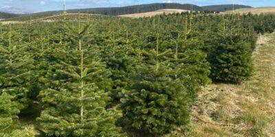Christmas trees growing in field