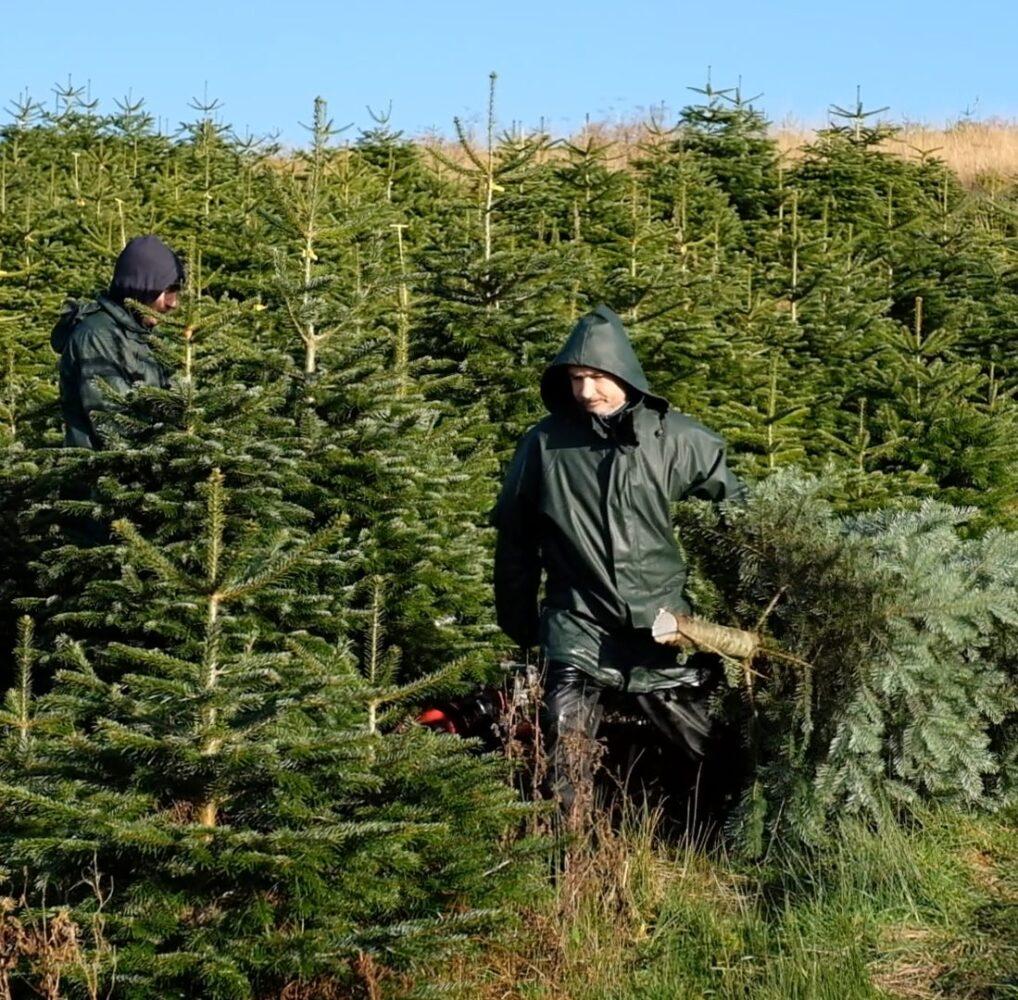 Premium Cut Christmas Trees